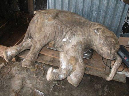 В Ямале найден замороженный мамонтенок