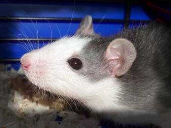 Учительница замучила 12 крыс, чтобы отучить детей от чипсов и сухариков