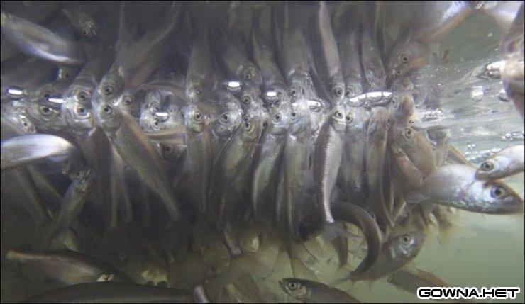 Задыхающиеся рыбки