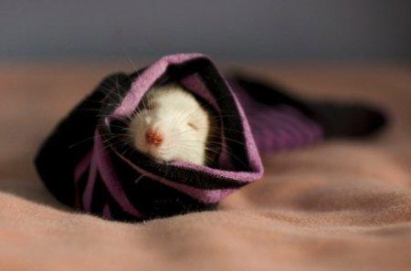 Ми-ми-ми крысы!