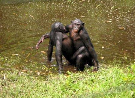 Крики во время секса у приматов повышают социальный ранг партнёров