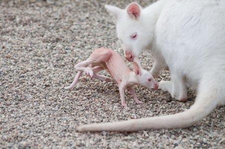 Кенгуру-мама и кенгуренок
