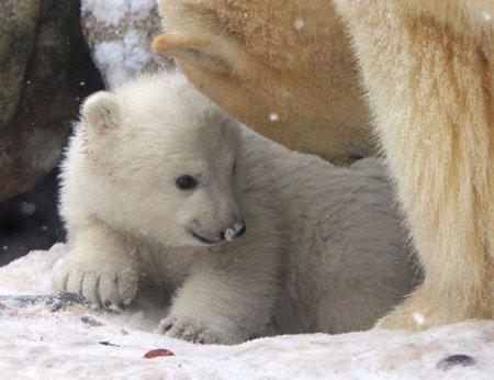 Белый медвежонок в датском зоопарке