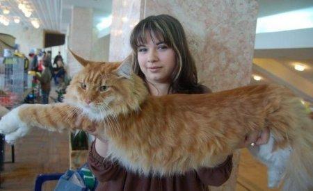 Большие коты мейн-куны