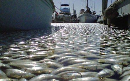 Миллионы мертвых рыб