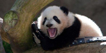 Панды зевают