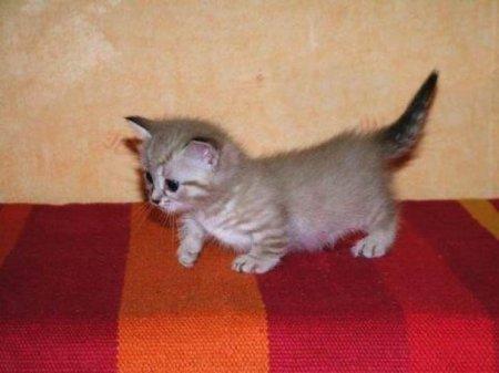 Манчкин - коротколапые коты