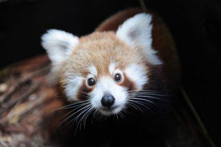 Красная панда в зоопарке Таронга