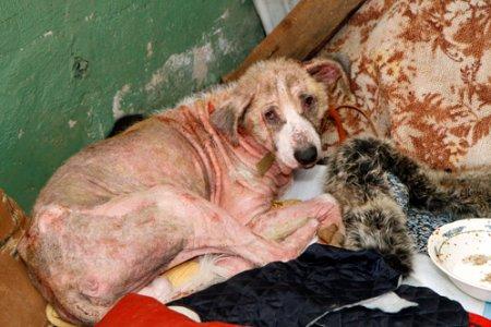От тоски по хозяину пес целый год прятался в подвале дома, и совершенно облысел