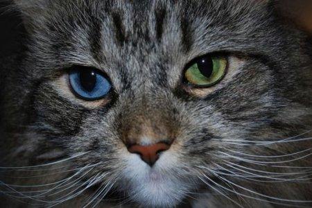 Коты с разным цветом глаз