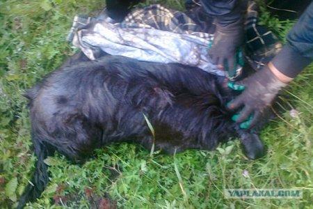 В Абакане рабочие окунули пса в битум