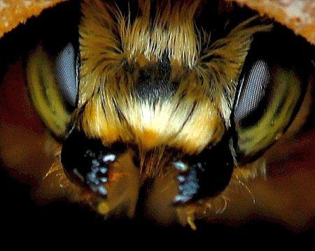Учёные работают над выведением сверхстойких пчёл