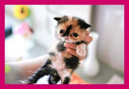 Memebon - котенок из Японии
