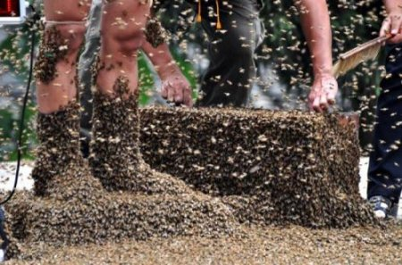 Пасечник пересадил на себя 29 кг пчел. ФОТО