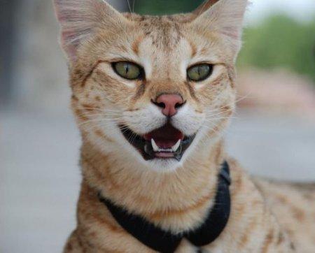 Кот Саванны