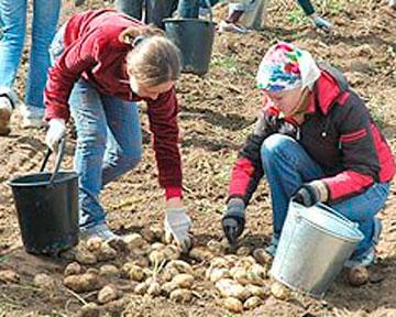 Минских школьников приобщат к сбору урожая