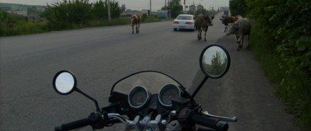 Дрогичинский район: водитель мопеда врезался в корову и получил травмы