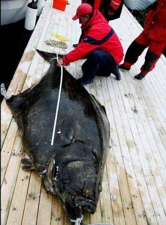 Пойман самый большой палтус в мире