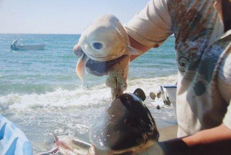 Одноглазая акула