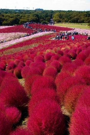 Красные кохии в Японии