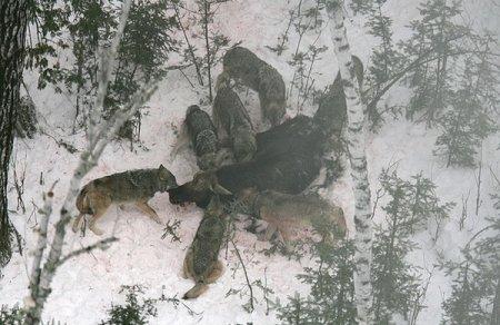 Умственные способности волков сильно переоценены