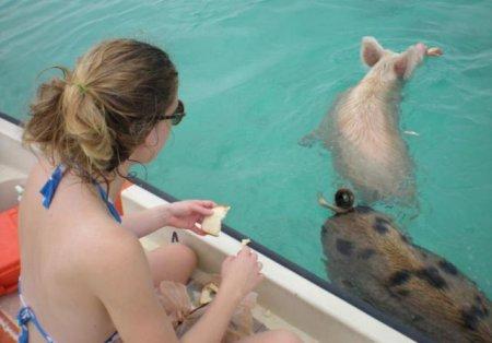 Свинский отдых на Багамах