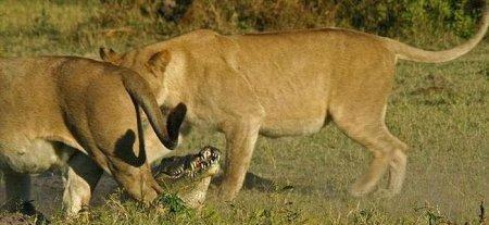 Кто сильнее, лев или крокодил?