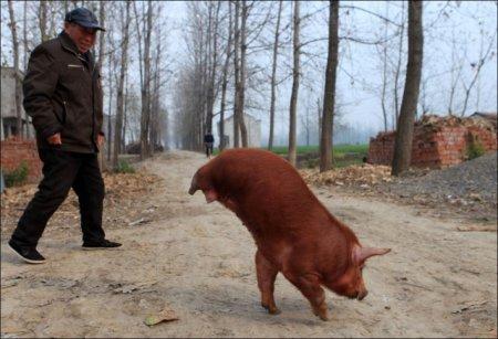 Безногая свинка - гимнаст