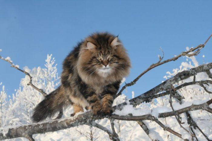 Амурский дикий лесной кот