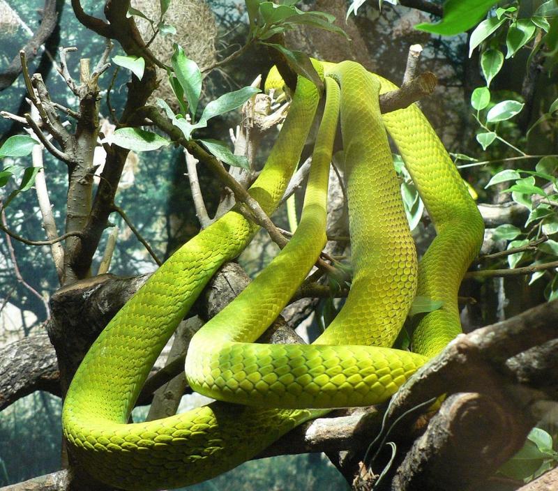 Африканская ядовитая змея мамба