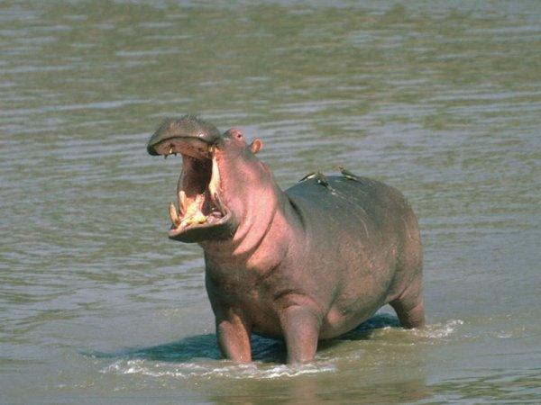 Самые опасные животные Африки
