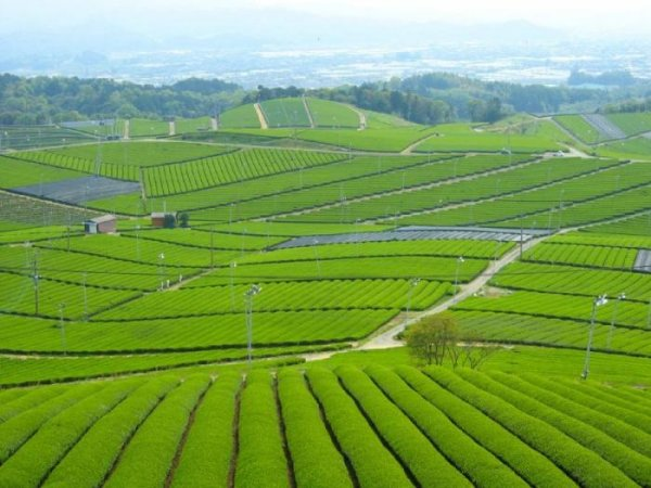 Чайные плантации в фотографиях