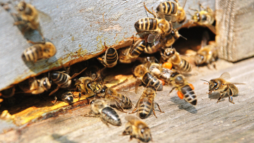 Мушка-паразит «зомбирует» пчел и заставляет сбегать из улья