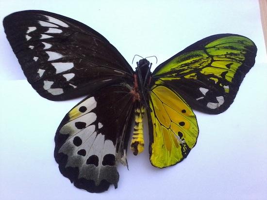 Гинандроморфизм в природе