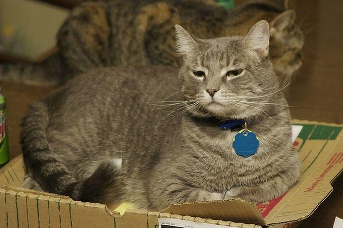 Коты и коробки от пиццы