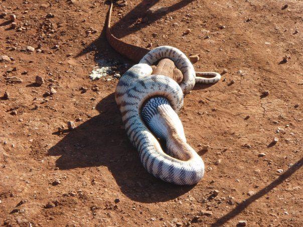 Игуана против змеи - кто кого?