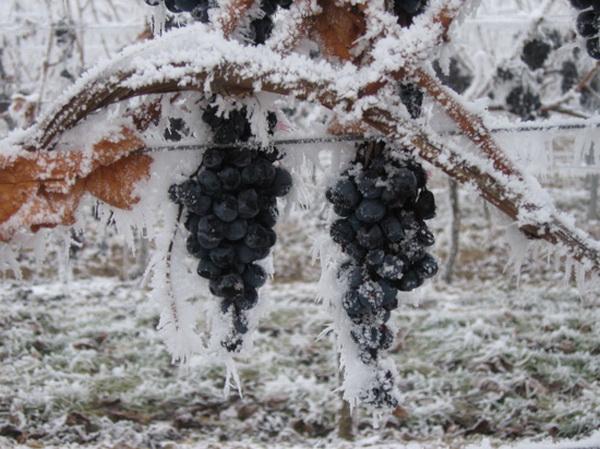 Существует Ледяное вино