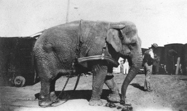 Дрессированные слоны в начале XX века
