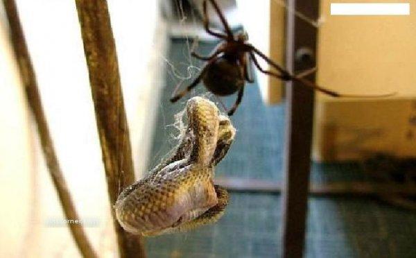 Паук против Змеи