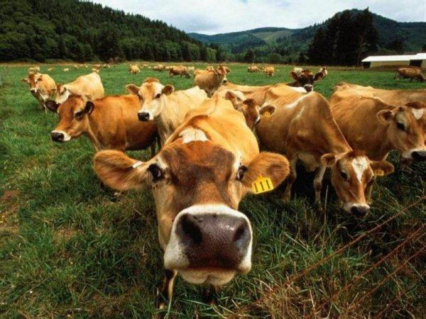 Россия запретила ввоз скота из Евросоюза