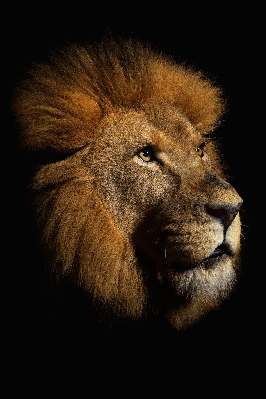 Musi) запечатлел красоту львов, тигров и других больших кошек крупным п…