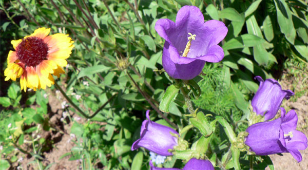 """Цветы на огороде"""