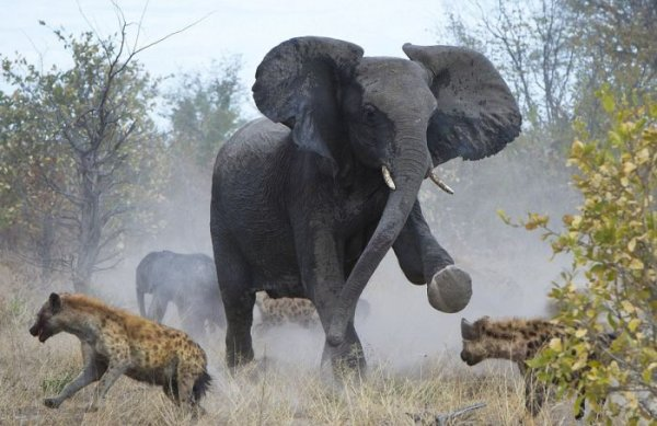Слониха против гиен