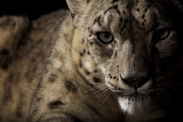 Vincent J. Musi BIG CATS