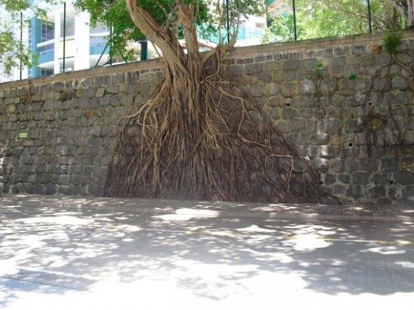 В Гонконге деревья растут из стен