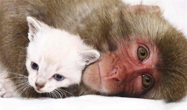 Макака взяла на воспитание двух котят
