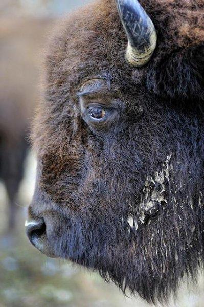 Как извели бизонов