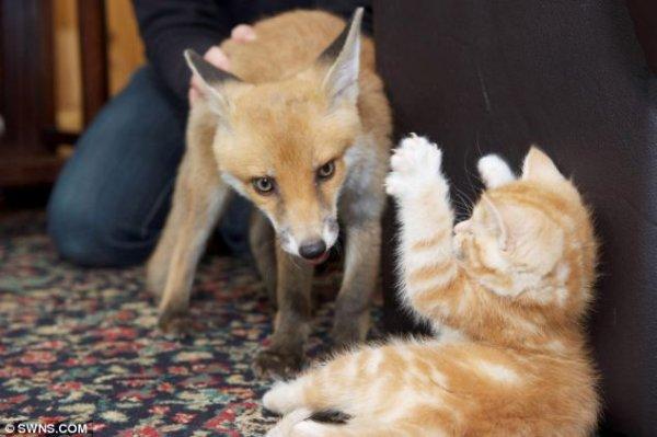 Котята помогли выздороветь сбитому на дороге лисенку