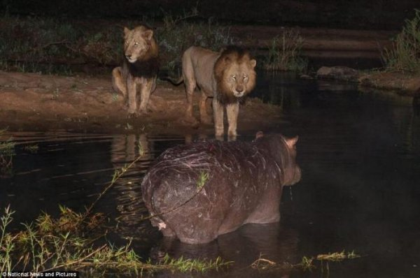 Отважный бегемотик и львы