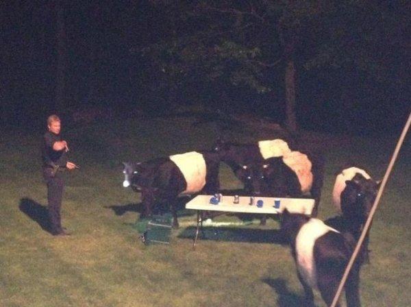 Коровы-алкоголички сорвали вечеринку